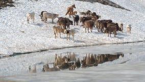 Gregge delle mucche che pascono su un campo di neve vicino ad un lago alpino Alpi italiane L'Italia Immagini Stock Libere da Diritti