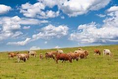 Gregge delle mucche che pascono su un pascolo Immagini Stock