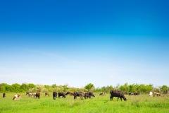 Gregge delle mucche che pascono su un prato Fotografia Stock Libera da Diritti