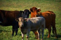 Gregge delle mucche che pascono su un prato verde Fotografia Stock Libera da Diritti