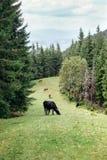 Gregge delle mucche che pascono su un prato verde in foresta Fotografia Stock
