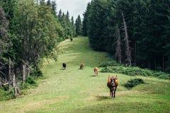 Gregge delle mucche che pascono su un prato verde in foresta Immagini Stock