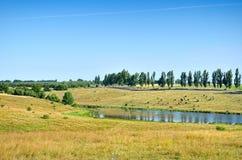 Gregge delle mucche che pascono su una collina vicino al lago Fotografia Stock