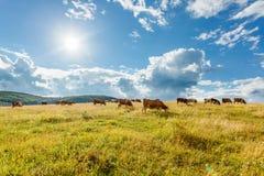 Gregge delle mucche che pascono sul campo soleggiato fotografia stock