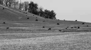 Gregge delle mucche che pascono in un campo fotografia stock