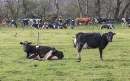 Gregge delle mucche che pascono in un campo fotografia stock libera da diritti