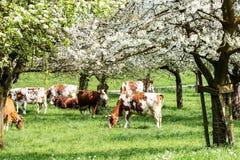 Gregge delle mucche che pascono in un frutteto di fioritura immagine stock