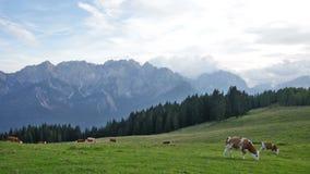 gregge delle mucche che pascono in un pascolo in montagne, alpi video d archivio