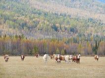 Gregge delle mucche che pascono in un pascolo nella montagna Altai Fotografia Stock