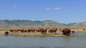 Gregge delle mucche che stanno lago vicino video d archivio