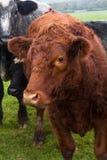 Gregge delle mucche con la mucca rossa in priorità alta Fotografie Stock Libere da Diritti