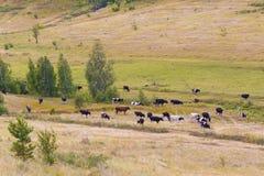 Gregge delle mucche contro gli alberi ed i campi Immagine Stock