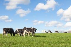 Gregge delle mucche da latte dell'Holstein che pascono al tramonto sull'orizzonte Immagini Stock