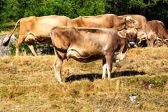 Gregge delle mucche da latte in Livigno, Italia Fotografia Stock