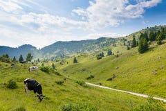 Gregge delle mucche dalle alpi italiane Fotografia Stock