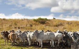 Gregge delle mucche dei bovini da carne del brahman Fotografie Stock Libere da Diritti