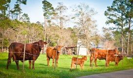 Gregge delle mucche del Brown fotografia stock