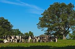 Gregge delle mucche dentro nel campo immagini stock libere da diritti