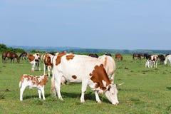 Gregge delle mucche e dei cavalli Fotografia Stock Libera da Diritti