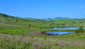 Gregge delle mucche e dei cavalli sul pascolo di fioritura della montagna sul divieto Fotografie Stock
