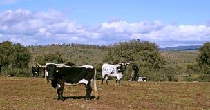 Gregge delle mucche e dei tori bianchi e neri che pascono fra le querce Immagini Stock Libere da Diritti