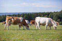 Gregge delle mucche e dei vitelli Immagini Stock Libere da Diritti
