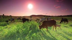 Gregge delle mucche e delle capre che mangiano erba stock footage