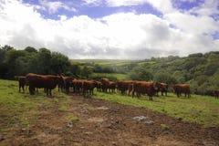 Gregge delle mucche Exmoor immagini stock libere da diritti