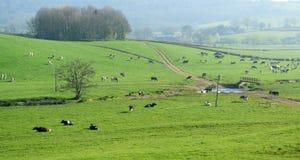 Gregge delle mucche frisoni britanniche che pascono su un terreno coltivabile Immagine Stock Libera da Diritti