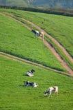 Gregge delle mucche frisoni britanniche che pascono su un terreno coltivabile Fotografia Stock Libera da Diritti