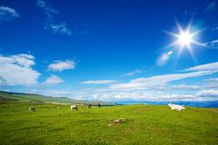 Gregge delle mucche il giorno di estate ecologicamente pulito alpino di Pasturein Immagini Stock