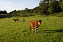 Gregge delle mucche marroni nel campo scozzese Fotografie Stock