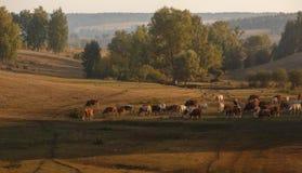 Gregge delle mucche nel campo immagine stock
