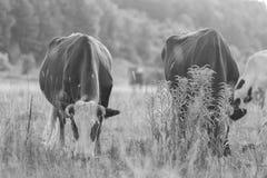 Gregge delle mucche nel campo Fotografia Stock