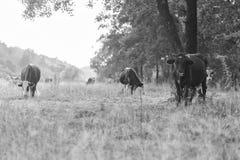 Gregge delle mucche nel campo Fotografie Stock