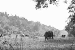 Gregge delle mucche nel campo Fotografie Stock Libere da Diritti