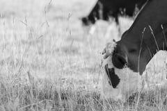 Gregge delle mucche nel campo Immagini Stock