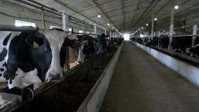 Gregge delle mucche nella stalla stock footage