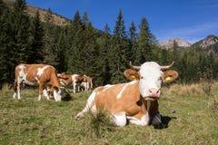 Gregge delle mucche nelle alpi Fotografia Stock Libera da Diritti