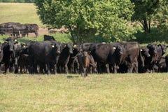Gregge delle mucche nere di Angus su un pascolo libero su un prato verde immagine stock libera da diritti