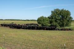 Gregge delle mucche nere di Angus su un pascolo libero su un prato verde fotografie stock libere da diritti