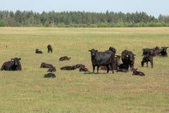 Gregge delle mucche nere di Angus su un pascolo libero su un prato verde fotografie stock