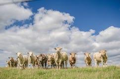 Gregge delle mucche rurali Fotografia Stock