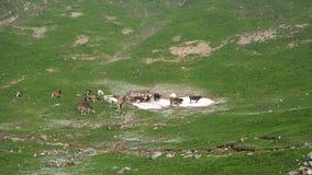 Gregge delle mucche selvagge che pascono ai prati alpini Alpi italiane L'Italia Immagini Stock Libere da Diritti