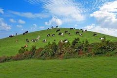 Gregge delle mucche sopra la collina verde Fotografia Stock