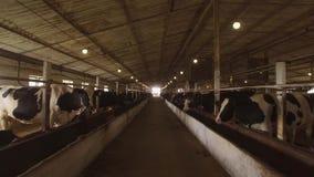 Gregge delle mucche in stalla archivi video