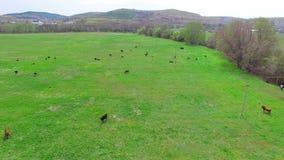 Gregge delle mucche su erba in pascolo verde stock footage