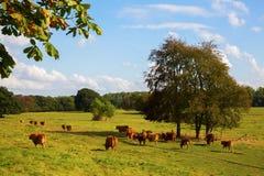 Gregge delle mucche su un campo Fotografia Stock Libera da Diritti