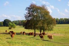Gregge delle mucche su un campo Fotografia Stock
