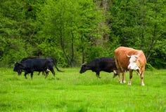 Gregge delle mucche su un pascolo vicino alla foresta Immagine Stock Libera da Diritti